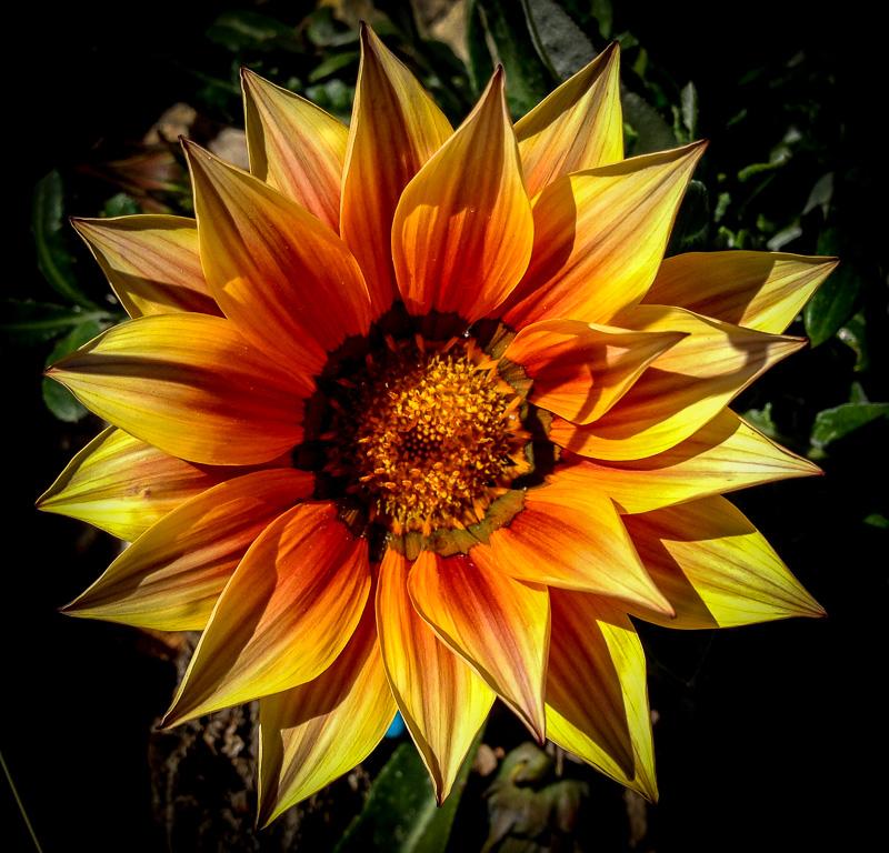 Light Orange Gazania Flower Closeup