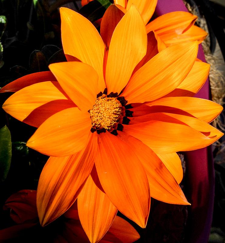 Orange Gazania Flower Closeup