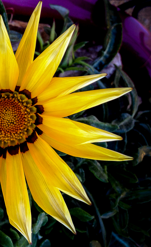 Yellow Gazania Flower Closeup