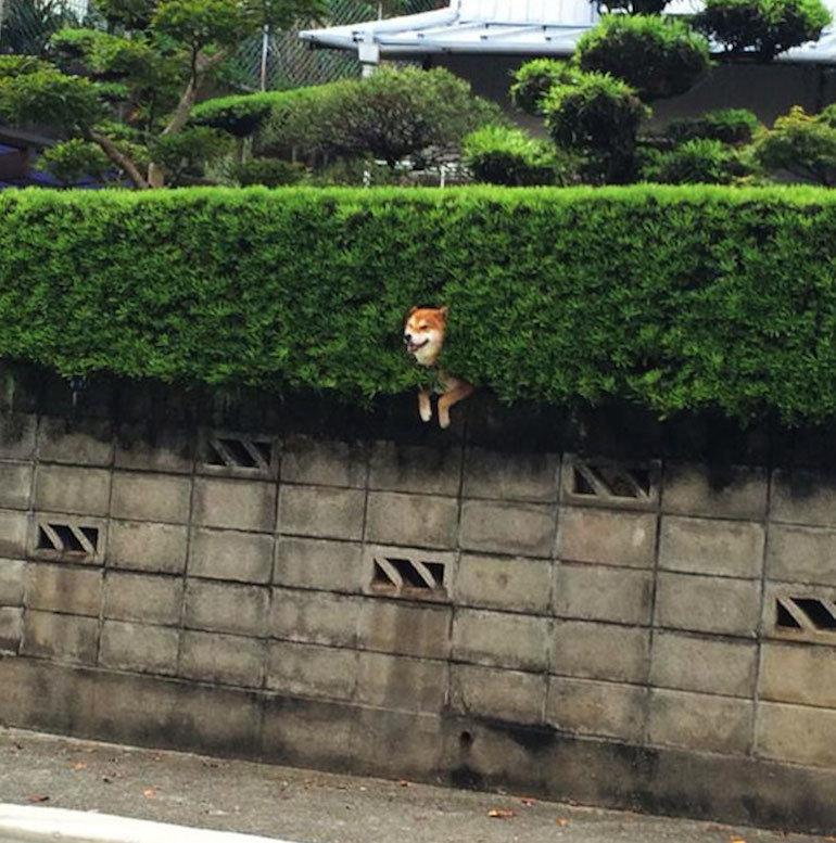 Hedge Dog