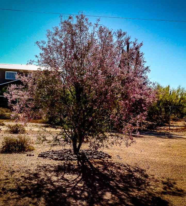 Ironwood Tree in Bloom - Sonoran Desert