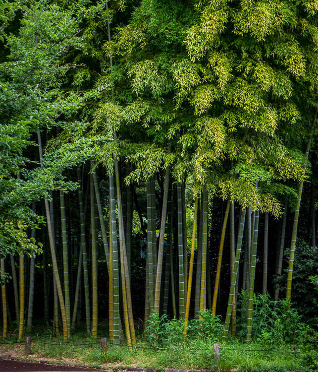 Stand of bamboo at the garden