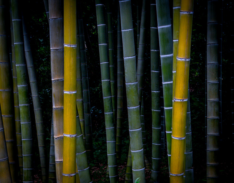 Bamboo close up