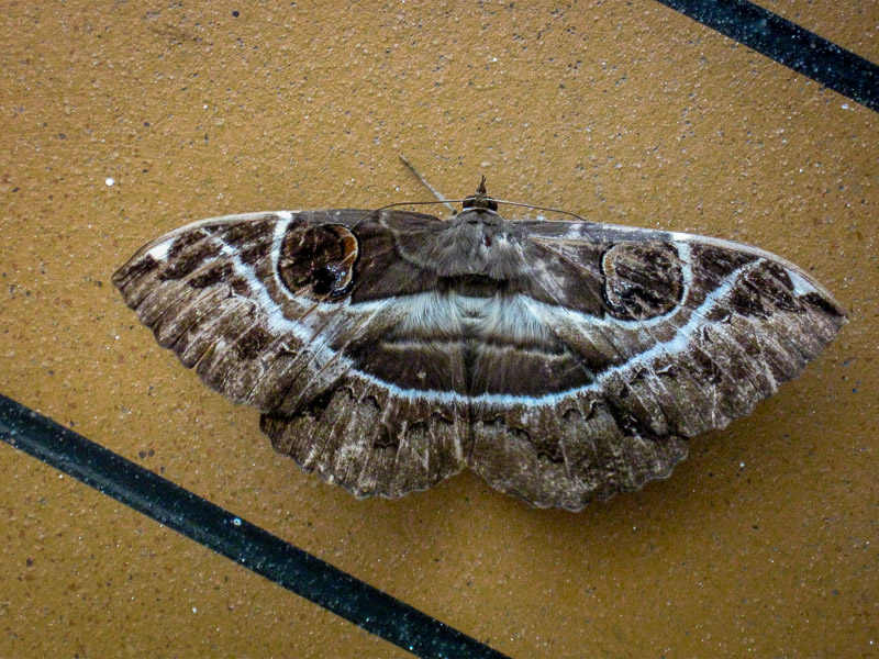 An interesting Noctuid moth resting on the deck of the ship