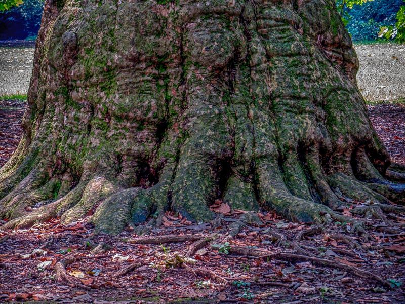 Large, old tree trunk with moss