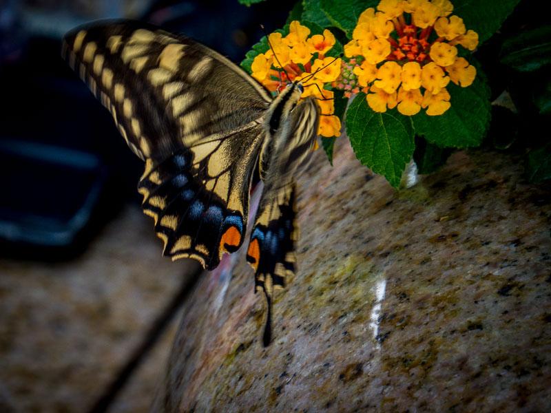 A real butterfly at Glover Garden, Nagasaki
