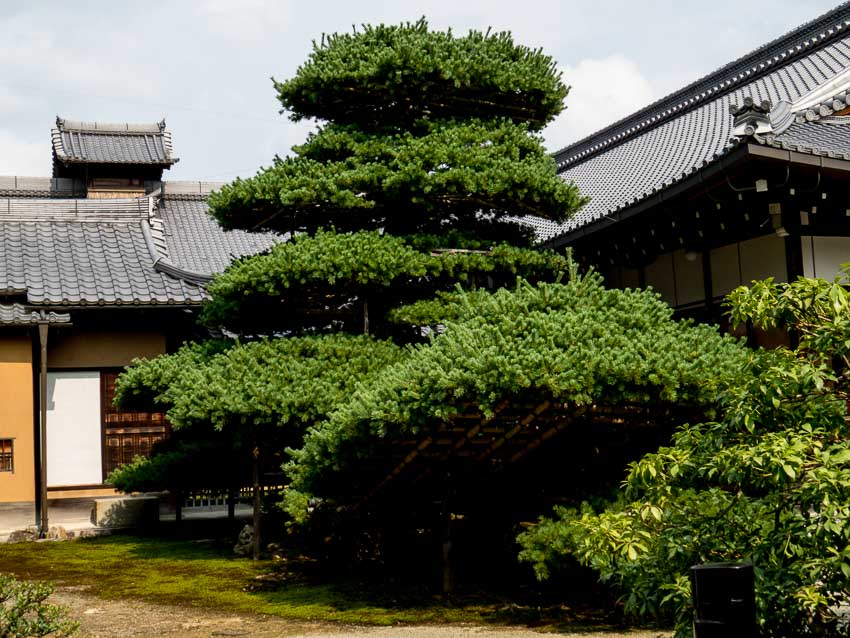 Old tree pruned in shape of a ship. Golden Pavilion - Kyoto, Japan