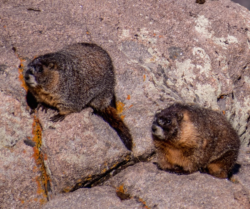 Marmots at Rocky Mountain National Park