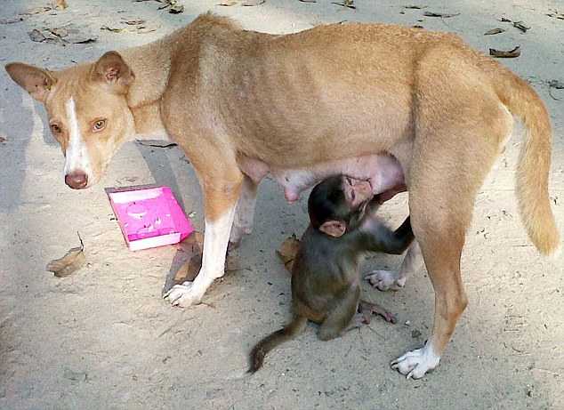 Dog adopts baby monkey