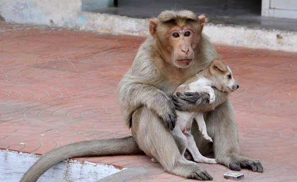 Monkey adopts puppy!
