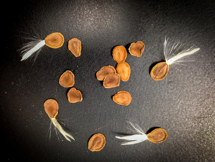 seed tails beginning to dry and fluff