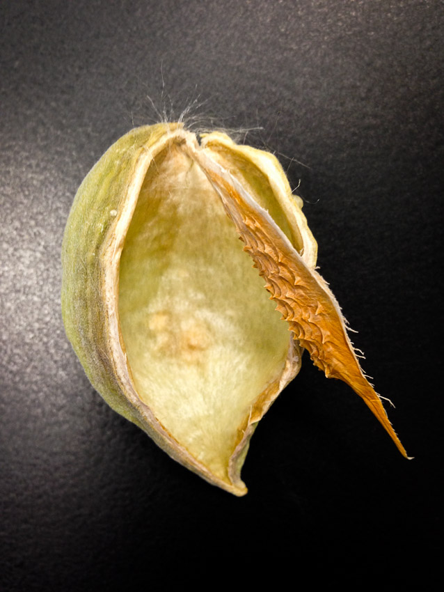 The structure of the spine helps to retain the seeds until they are ready to fly away