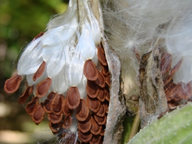 Seeds clinging to the pod in nature