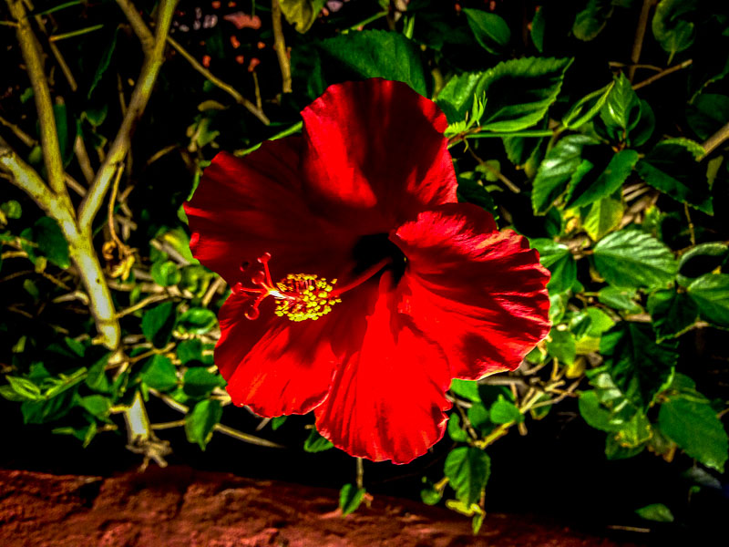 A pretty, red hibiscus on the balcony at The Different Pointe of View Restaurant, Phoenix, AZ