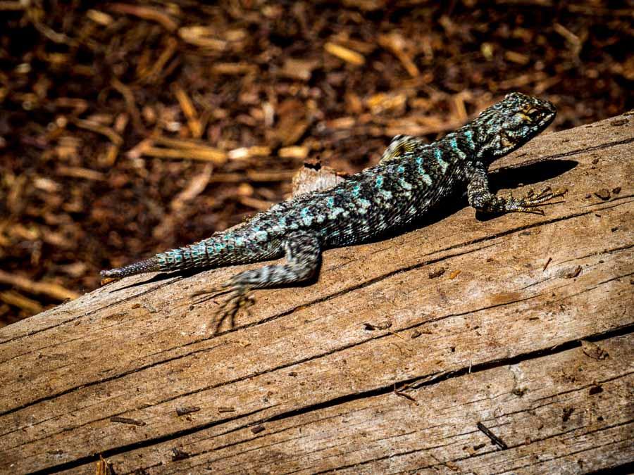 Lizard on the Taft Point Trail