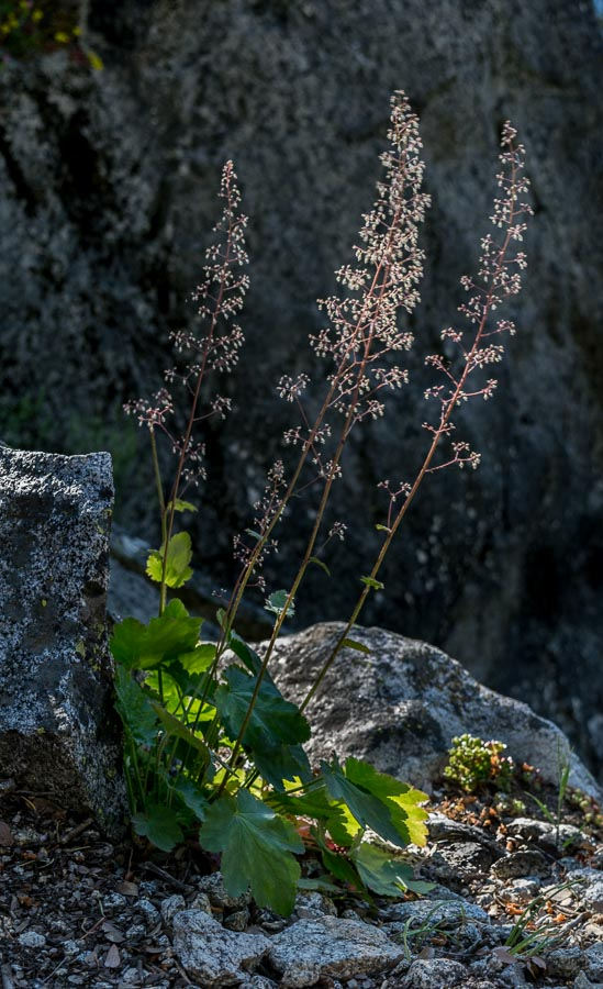 Alumroot-Heuchera micrantha