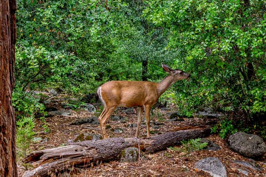 Wildlife along the Yosemite paths
