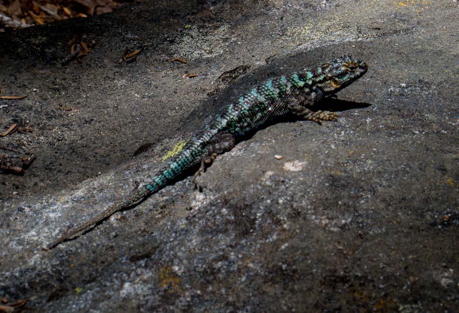 Fence Lizard along Taft Point Trail