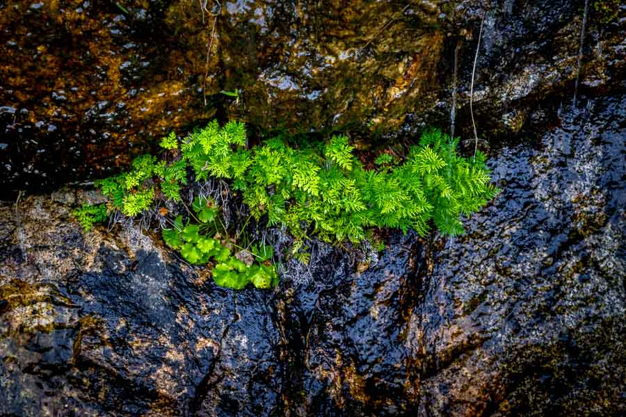 Plants growing from dripping springs at Hetch Hetchy