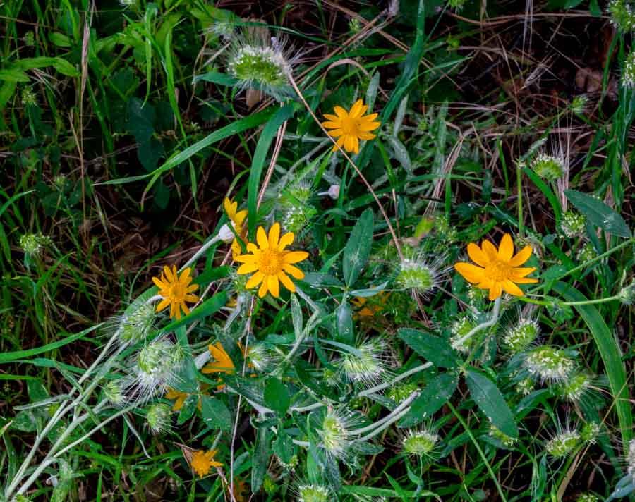 Hetch Hetchy wildflower field