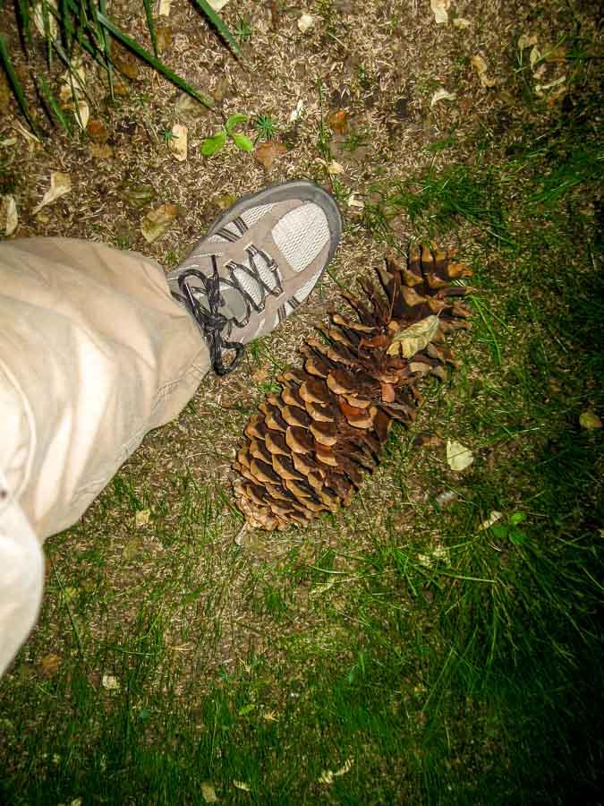 foot long pine cone