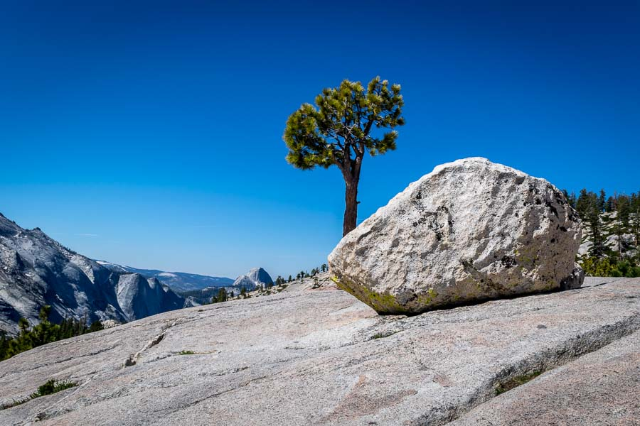 Lone Tree at Olmsted Point