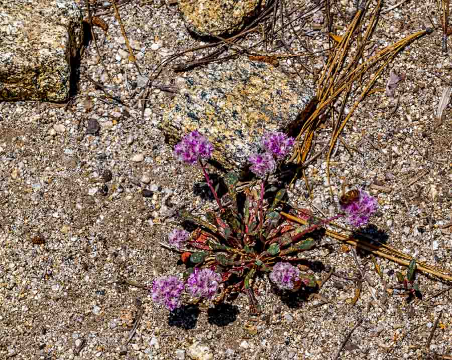 Pink Wildflower at Yosemite