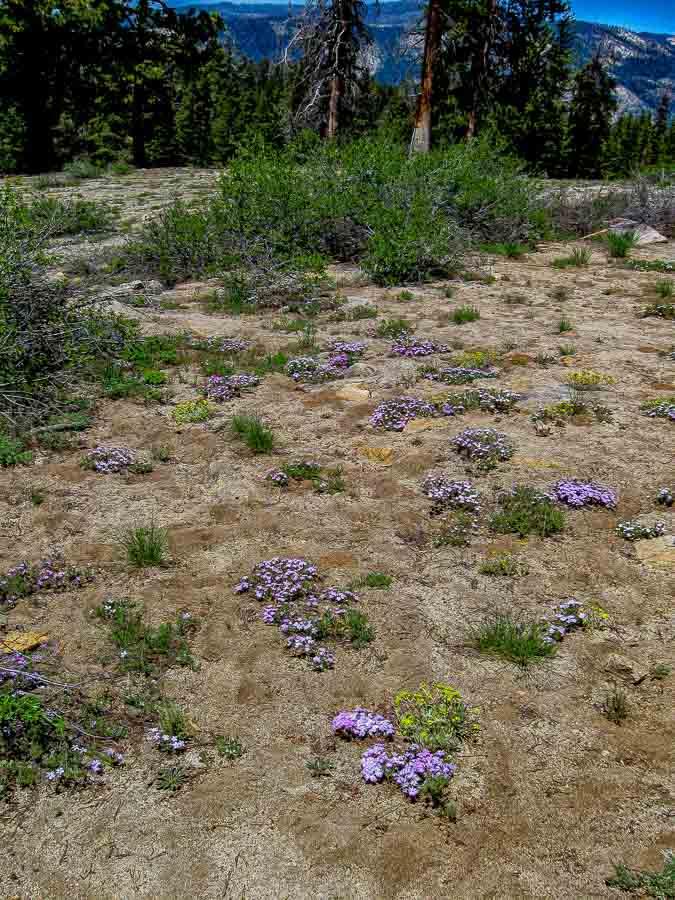 Clusters of Phlox at Yosemite