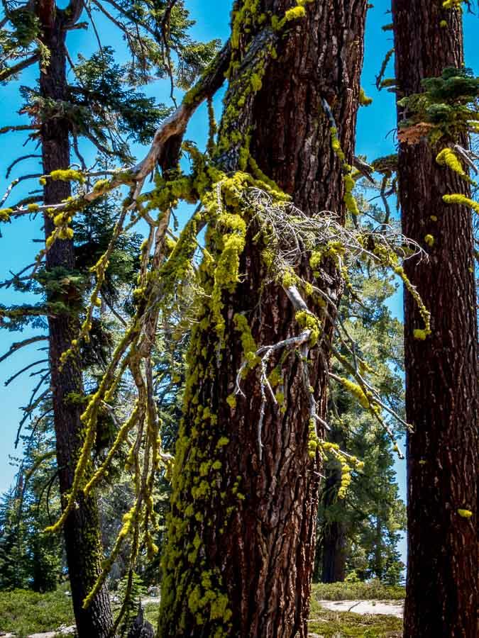 Wolf lichen on a tree in distress near death