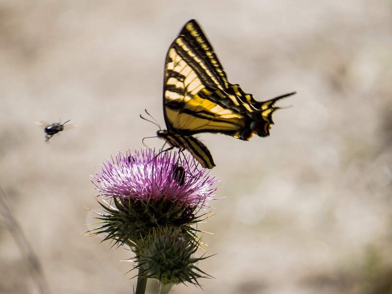 A butterfly and other insects enjoy the thistle
