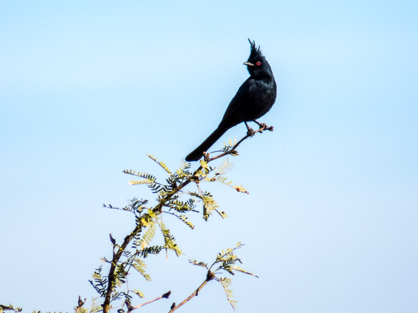 Phainopepla captured at the McDowell Mountain Preserve