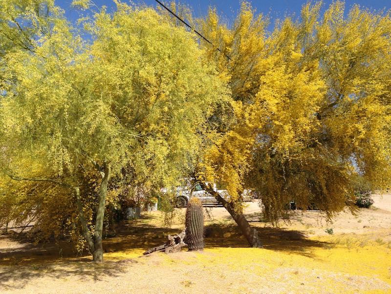 Palo Verde Tree in flower
