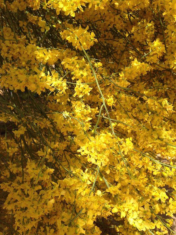 Palo Verde Tree flowers