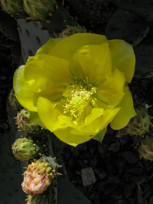 Opuntia - Paddle Cactus