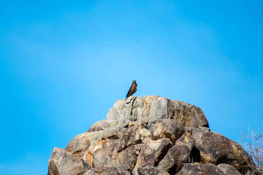 A distant bird; I think a Harris's Hawk