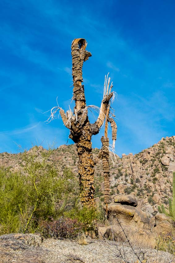 Dead saguaro still graces the desert