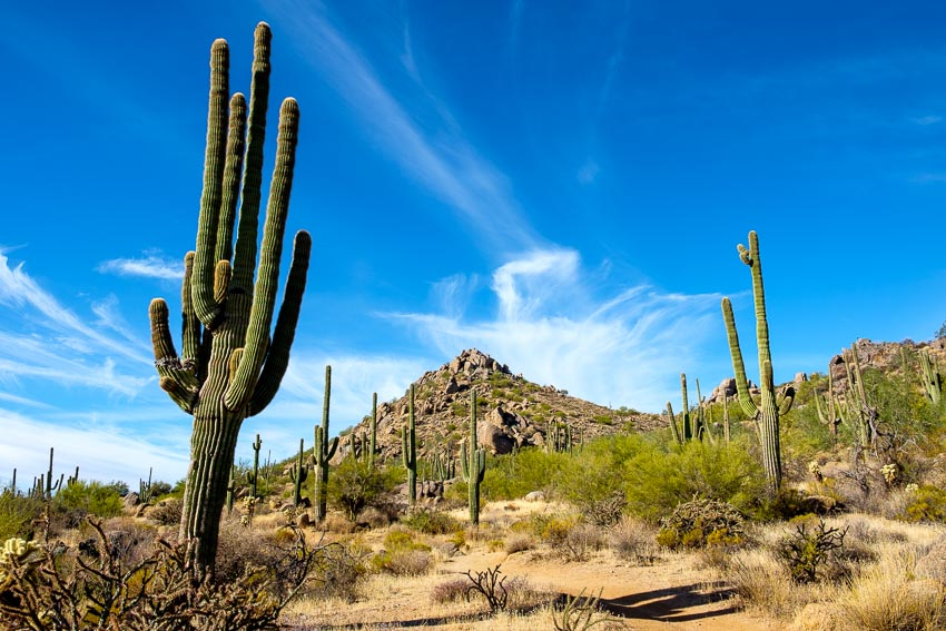 Picture of the saguaros in the foreground of the mountains