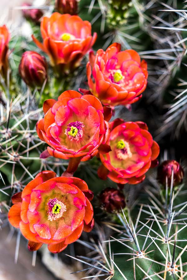 Claret Cup Cactus