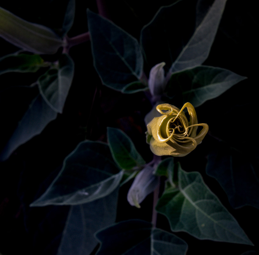 Datura (Jimson Weed)