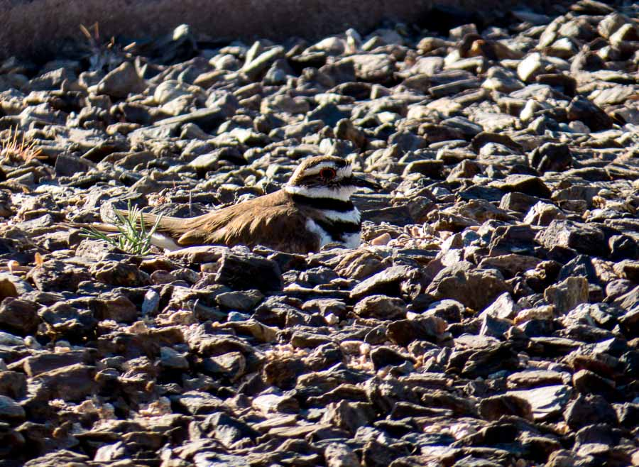 Killdeer mother tending the nest