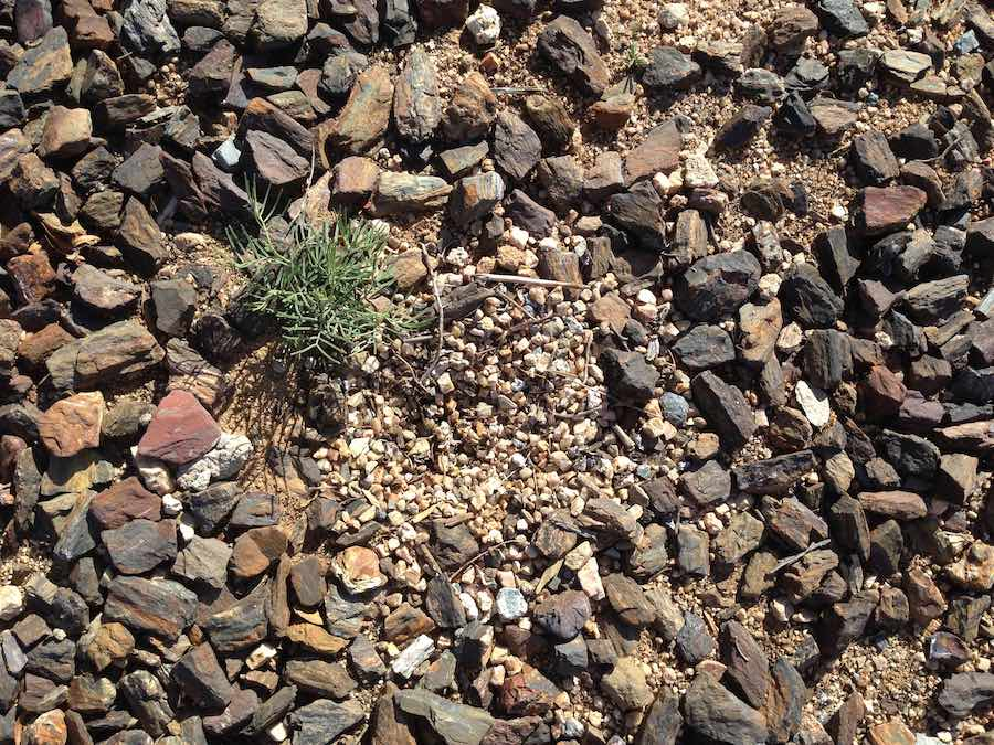 Abandoned Killdeer nest