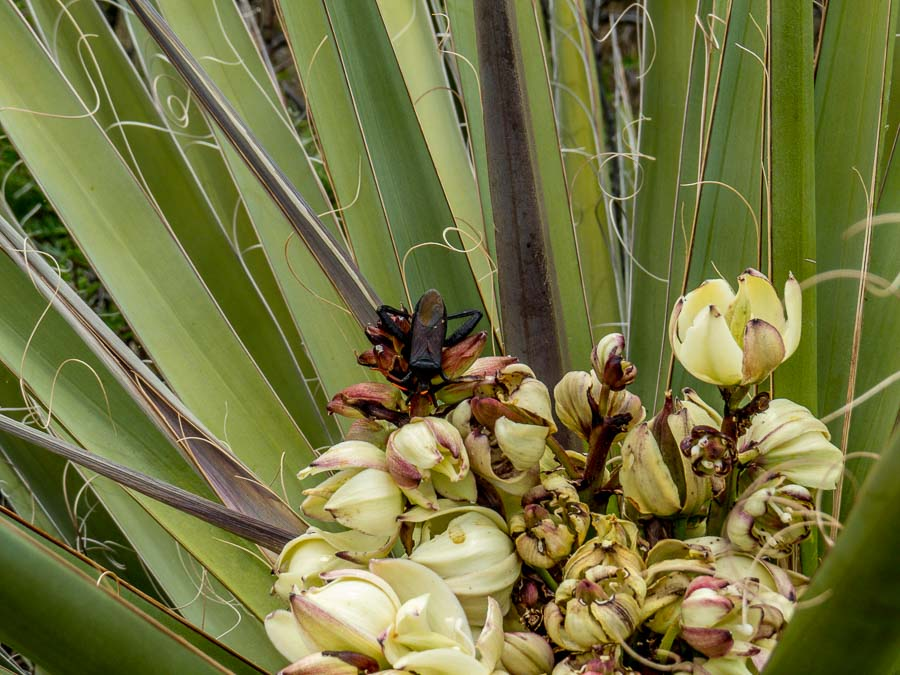 Leaf-footed Bug on Yucca