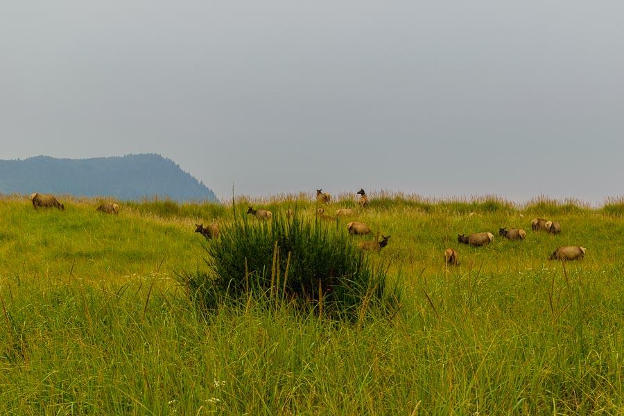 Roosevelt Elk along coastal Oregon