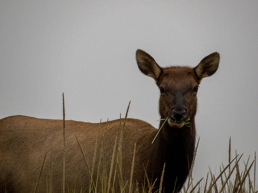 An elk doe eats as she watches us walk along the path