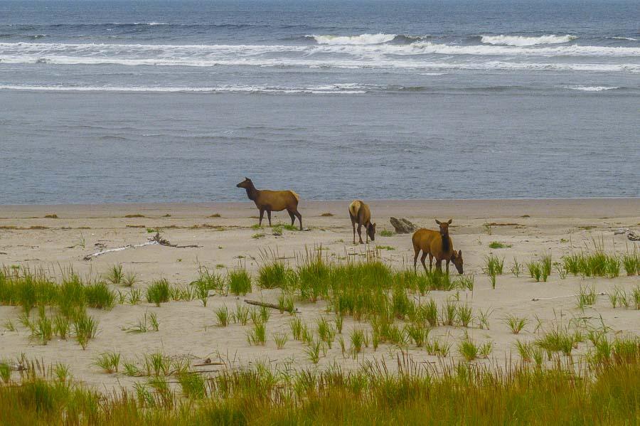 Elk along the shore