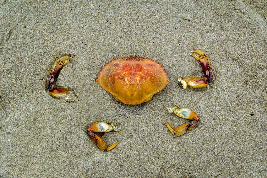 Remains of a complete Dungeness crab