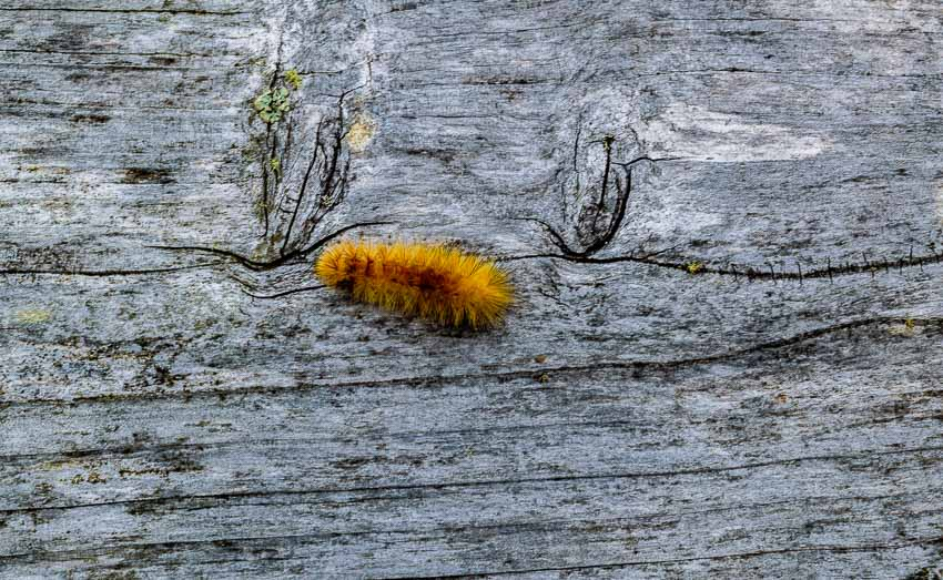 A wooly bear caterpillar