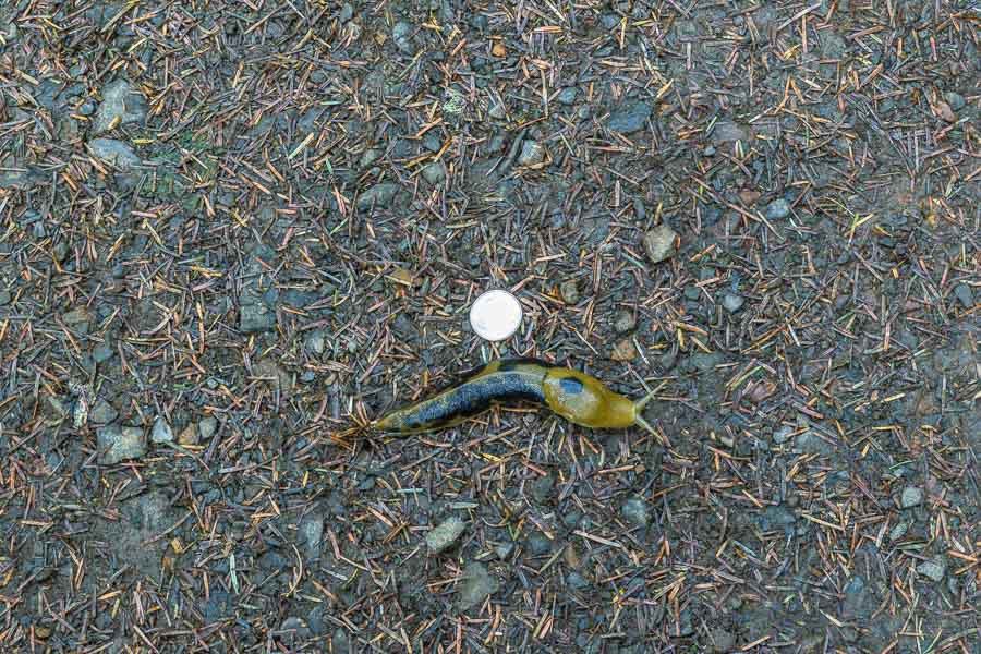 Large Banana slug