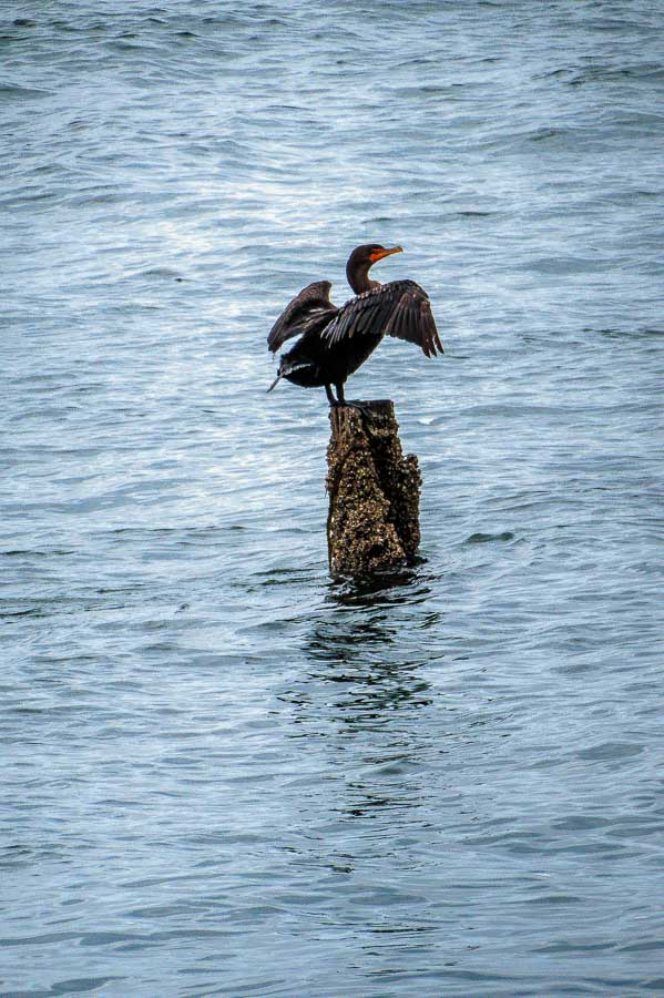 Cormorants are also hoping for some fish.