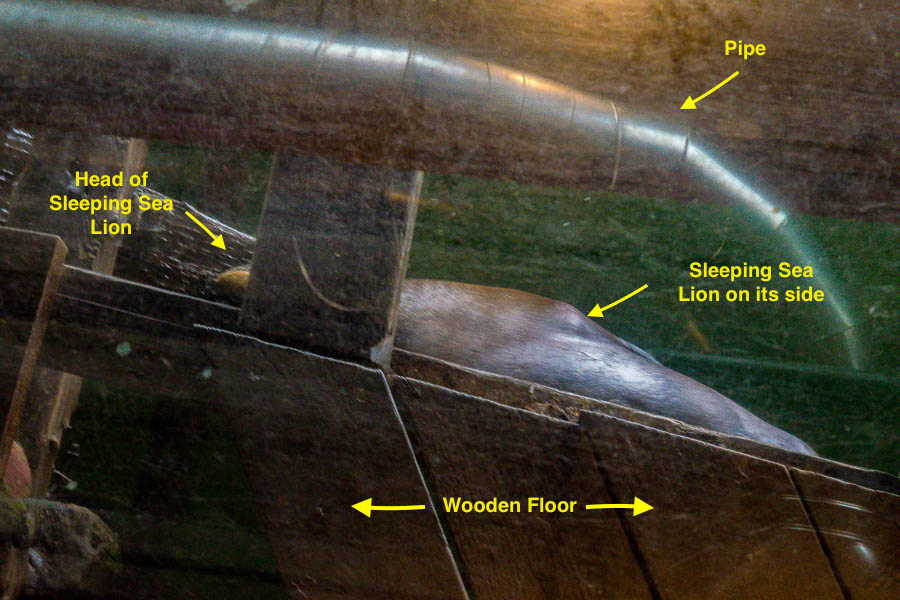 Sea Lion visualized through window in restaurant floor